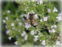 Biene im Steinquendel